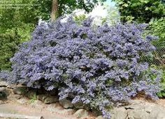 Image result for ceanothus blue mound