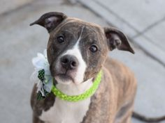 Brooklyn Center BELLA – A1066435 SPAYED FEMALE, BL BRINDLE / WHITE, AM PIT BULL TER MIX, 5 yrs OWNER SUR – ONHOLDHERE, HOLD FOR ID Reason PERS PROB Intake condition EXAM REQ Intake Date 03/01/2016, From NY 11218, DueOut Date 03/01/2016