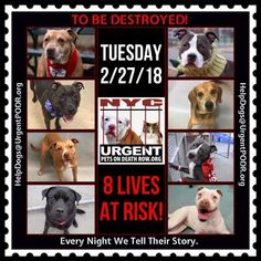 TO BE DESTROYED 02/27/18 - - Info    https://newhope.shelterbuddy.com/Animal/List  To rescue a Death Row Dog, Please read this:http://information.urgentpodr.org/adoption-info-and-list-of-rescues/ List of NH Rescues:http://www.nycacc.org/get-involved/new-hope/nhpartners To view the full album, please click ...-  Click for info & Current Status: http://nycdogs.urgentpodr.org/to-be-destroyed-4915/