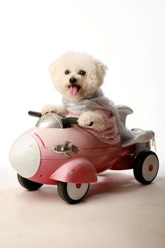 Fifi The Bichon Frise And Her Rocket Car