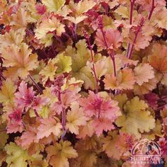 Heuchera: low maintenance, evergreen, partial shade perennial so many different colors to choose from too!
