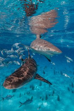Two Caribbean reef sharks in crystal clear blue water.