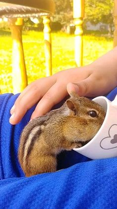 Chipmunk eating out of cup on my son's lap. New Brunswick Canada Wildlife video vc Cute Wild Animals, Super Cute Animals, Cute Funny Animals, Animals Beautiful, Animals And Pets, Cute Cats, Kindness To Animals, Baby Animal Drawings, Softies