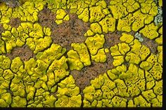 "Acarospora or Pleopsidium (one of the ""gold cobblestone lichens"") on rock in Arizona,"