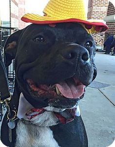 Seattle WA - Pit Bull Terrier\/Labrador Retriever Mix. Meet A - BUGSY a dog for adoption.