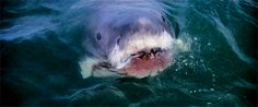 Discover & share this Great White Shark GIF with everyone you know. GIPHY is how you search, share, discover, and create GIFs. Shark Gif, Shark Jaws, Scary Shark, Jaws 2, Shark Mouth, Sharks, Orcas, Jaws Movie, Great White Shark