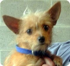 Bloomfield, CT - Yorkie, Yorkshire Terrier/Terrier (Unknown Type, Small) Mix. Meet Snooki a Dog for Adoption.