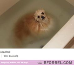 Hes DissolvingI laughed a lot harder than I was suppose to More Laughing So Hard, Types Of Dogs, Dogs Lol, Dissolving Haha, Fluffy Dogs, Pomeranians, Funnies, So Funny, Dissolv Dogs I dont know why this is so funny to me:D He's Dissolving… haha looks like my dog in the tub.... Ahahahahhahah I wonder what type of dog is that?? Riley is that you? This made me actually laugh out loud....its funny how tiny some fluffy dogs are He's Dissolving…I am laughing so hard Image via We Heart It…