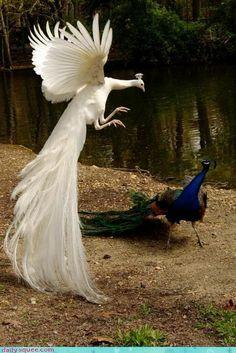 albino peacocks!
