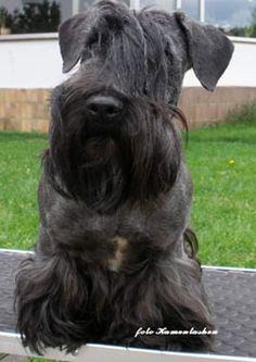 Ridley Cesky Terriers: Days of the Cesky Terrier