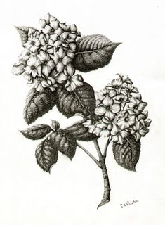 hydrengea drawings | hydrangea | Kari