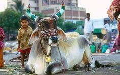 Resultado de imagen para cows in india