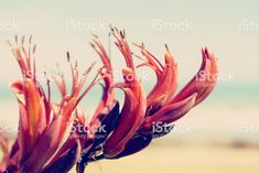 Native New Zealand Flax Flower or Harakeke in Bloom royalty-free stock photo New Zealand Flax, Flax Flowers, Nz Art, Annual Plants, Leg Tattoos, Image Now, Nativity, Filter, Tattoo Ideas
