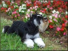 This is an absolutely adorable black and silver mini schnauzer, just beautiful