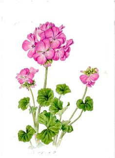 Geranium. Watercolors, Botanical painting.