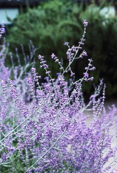 Russian Sage – 'Perovskia - Blue Spire'. Suitable for seaside gardens.