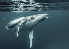 Humpback at the surface - beautiful.  Must draw or paint this at some point.  :]