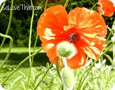 Poppies! gotta get some of these...