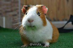 Viruta /Guinea pig / Cobaya (Foto L. Berenguel) @viruta_  on IG