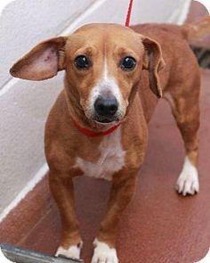 McDonough, GA - Dachshund Mix. Meet Tawnee, a dog for adoption. http://www.adoptapet.com/pet/14533986-mcdonough-georgia-dachshund-mix