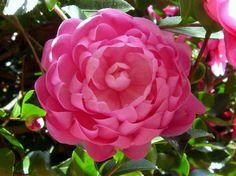 Camellia hiemalis 'Susy Dirr' (U.S., 2012)