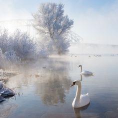 Icy Swan Lake by Edwin van Nuil (edwin))