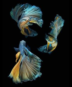 Some interesting betta fish facts. Betta fish are small fresh water fish that are part of the Osphronemidae family. Betta fish come in about 65 species too! Pretty Fish, Beautiful Fish, Beautiful Images, Beautiful Creatures, Animals Beautiful, Cute Animals, Colorful Fish, Tropical Fish, Freshwater Aquarium