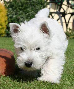 Westie Pup...nothing cuter!!