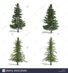 Stock Photo - Cedar trees, isolated on white background Cedar Trees, Pop Up, Christmas Tree, Stock Photos, Holiday Decor, Illustration, Outdoor, Teal Christmas Tree, Outdoors