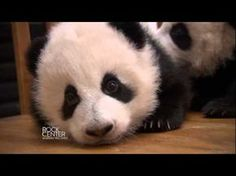 There is nothing cuter than a baby panda learning to walk