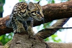 "A spotted leopard cub climbing on a tree. ""On the Prowl,"" posted by Hans Johnson and Jared Wunsch via attackofthecute.com"