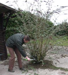 Pruning butterfly bush for me in the spring Allotment Gardening, Gardening Tips, Gardening Direct, Pruning Butterfly Bush, Container Plants, Container Gardening, Tire Garden, Green Tips, Garden Maintenance