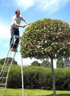 Clipping Photinia Tree
