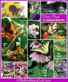 If you want to attract swallowtail butterflies to your yard this year, plants some of these nectar bearing plants.  #swallowtail #butterfly
