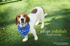 Meet Jedidiah, a Petfinder adoptable Basset Hound Dog | Kansas City, MO | Jedidiah is a very cute boy who is mild mannered and attentive. Look at his fancy trick in the...