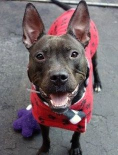 Manhattan Center   DIAMOND - A1024233  *** EXPERIENCED HOME ***  FEMALE, BLACK / WHITE, PIT BULL MIX, 1 yr STRAY - STRAY WAIT, NO HOLD Reason STRAY  Intake condition UNSPECIFIE Intake Date 12/29/2014, From NY 10460, DueOut Date 01/02/2015,  https://www.facebook.com/photo.php?fbid=935240456488834