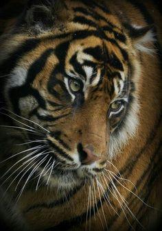 Stunning Tiger!