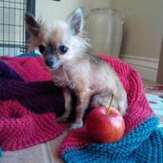 Petango.com – Meet Litchi, a 6 years Chihuahua, Short Coat / Mix available for adoption in OSGOODE, ON