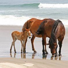 jakupwashere:    ╰♥╮ Beach Baby ╰♥╮  redwingjohnny:    Family of Wild Horses on the Beach  byKarl R. Martin