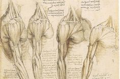 A pioneer in the observation and theory of anatomy, da Vinci soon established himself as an expert in muscular topography, vascular systems, and bone structures, unveiling the mechanics of our human movement.