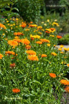 Körömvirág Calendula, Plants, Flower Garden, Flowers
