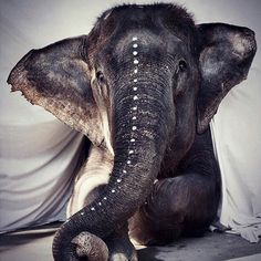 Did you know?... In Thailand they have a ritual called Phajaan which means 'Crushing an Elephants spirit'. Each time you ride an elephant or visit a zoo you are contributing to these cruel practices #ridebikesnotelephants #savetheelephants #againstanimalcruelty #zenvala