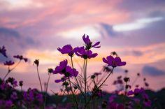 夕焼けに染まる空とコスモス Planting Flowers, Sunset, My Favorite Things, Wallpaper, Nature, Plants, Beautiful, Natural Landscaping, Mobile Wallpaper