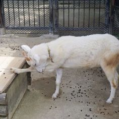 反省! • • • •  #goat   #ヤギ   #やぎ   #山羊   #動物   #animals   #animal   #zoo   #福岡市動植物園   #福岡   #fukuoka