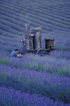 lavender field  in southern France