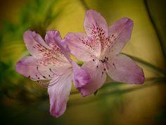x170518_26_azaelas by Dorothy Lee #azaelas #flowers #photography #dorothylee