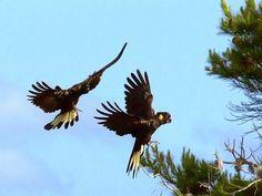 Yellow-tailed Black-Cockatoo | BIRDS in BACKYARDS