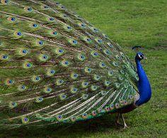 Kék páva – Wikipédia