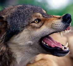 be cool to own a wolf,- don't know who wrote that but I wish people could ju. be cool to own a Wolf Images, Wolf Pictures, Wolf Poses, Snarling Wolf, Angry Wolf, Wolf Husky, Wolf Wallpaper, Wild Wolf, Wolf Spirit