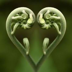 La magie de Fibonacci dans la nature, les maths de Dieu … The magic of Fibonacci in nature, the maths Heart In Nature, Heart Art, Fern Frond, In Natura, I Love Heart, Foto Art, No Photoshop, Sacred Geometry, Amazing Nature